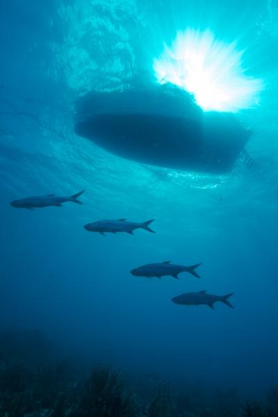 Tarpons below dive boat (dig)-British Virgin Islands