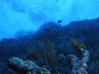 Anchor shaped coral and surf-Saba