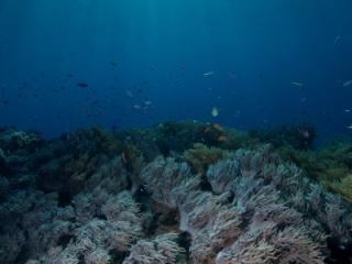 Sinularia soft coral & sunrays (dig)-Fiji