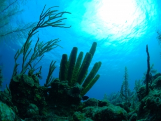 Sponges & corals (dig)-Belize