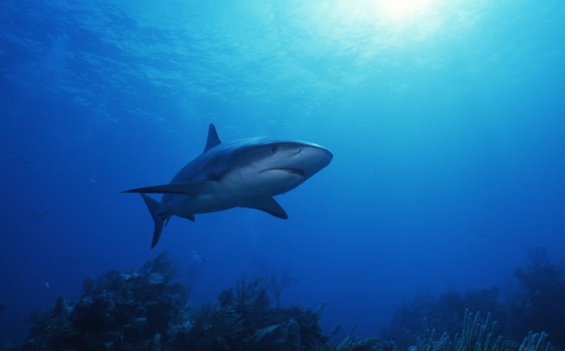 Blacktip shark-Bahamas