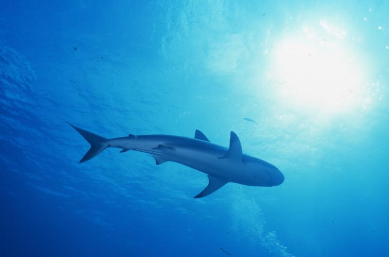 Blacktip shark-Exumas