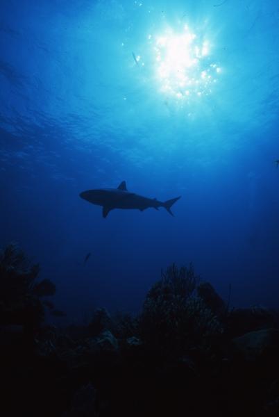 Blacktip shark silhouette with sun-Exumas