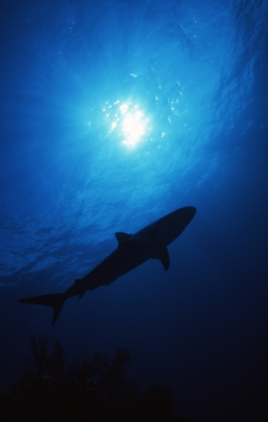 Blacktip shark & sun silhouette-Exumas, Bahamas