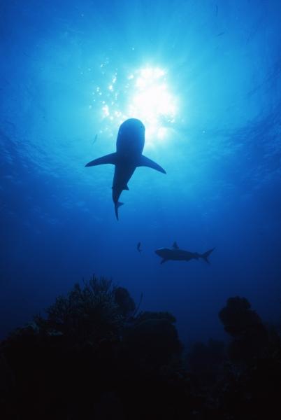 Blacktip sharks circling by sun-Exumas