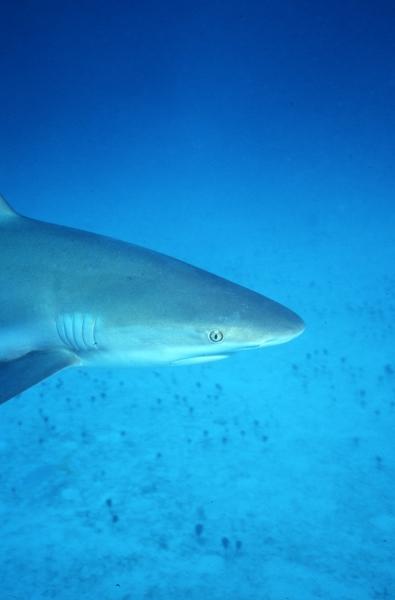 Caribbean reef shark-Nassau