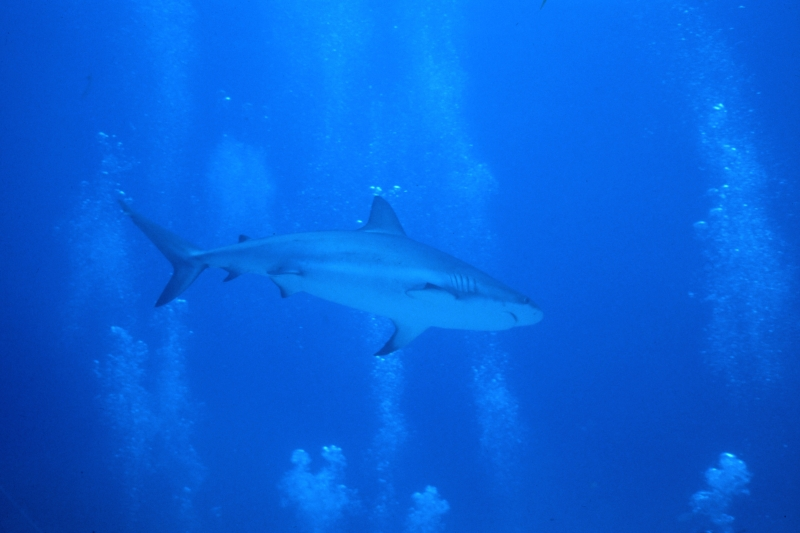 Caribbean reef shark and bubbles-Nassau