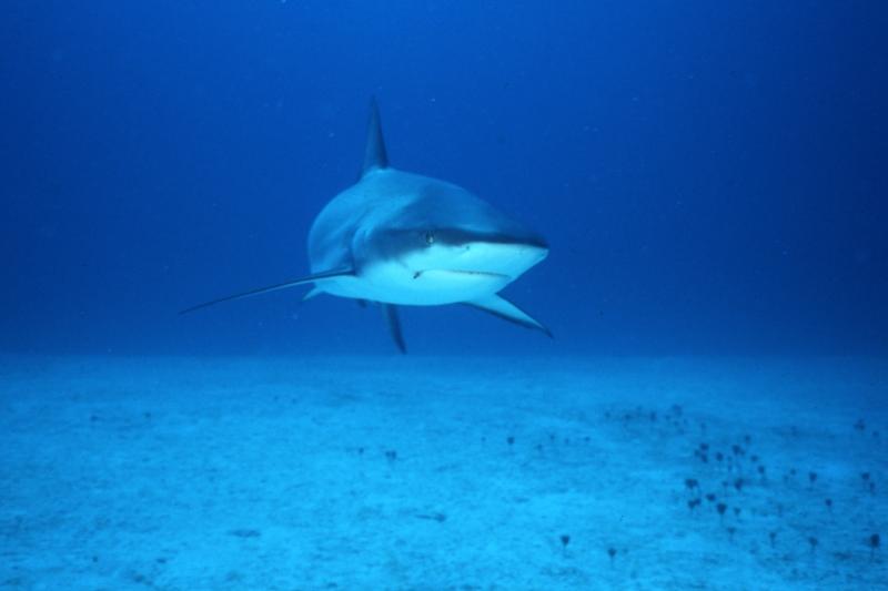 Caribbean reef shark approaching-Nassau