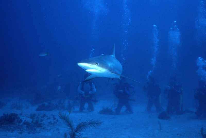 Caribbean reef shark & divers-New Providence Island