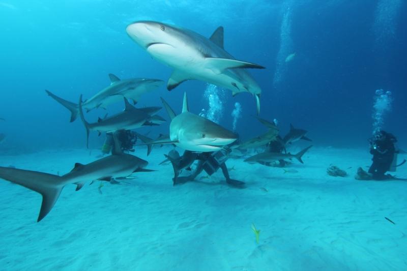 Caribbean reef shark feed 1 (dig)-New Providence Island