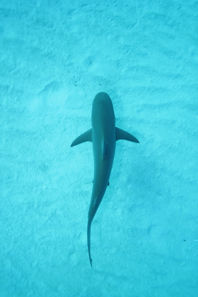 Caribbean reef shark from above (dig)-New Providence Island