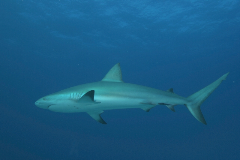 Caribbean reef shark from below 2 (dig)-New Providence Island