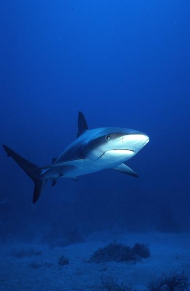 Caribbean reef shark with hook-New Providence Island