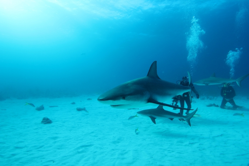 Caribbean reef sharks (dig)-New Providence Island