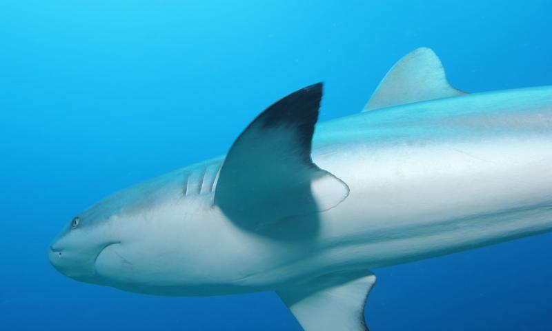 Gray reef shark close-up (dig)-Fiji