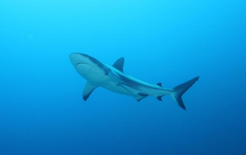 Gray reef shark (dig)-Nigali Passage, Fiji