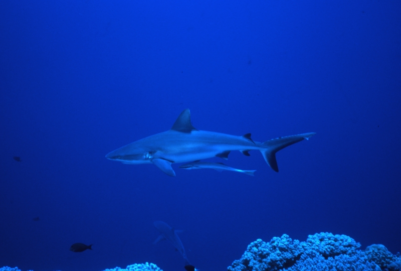 Gray reef shark with remora-Blue Corner, Palau