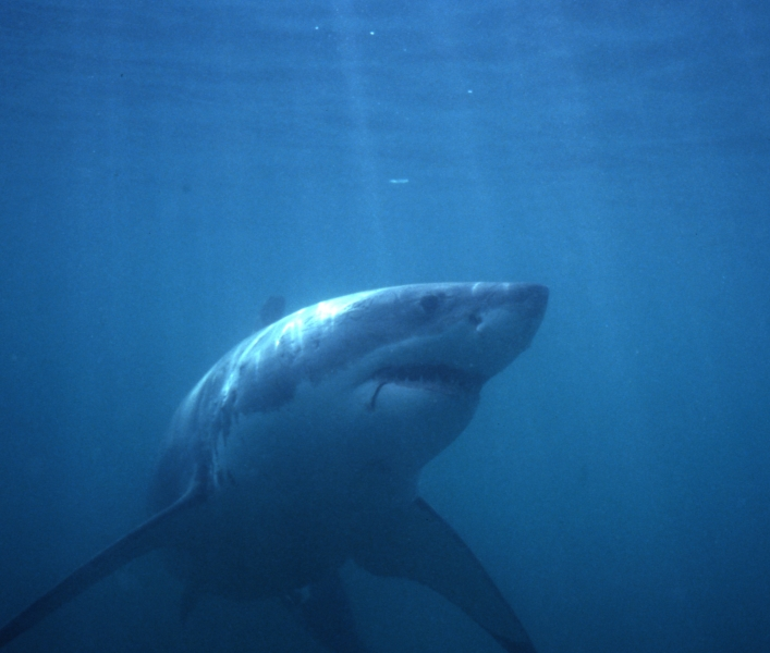 Great white shark-Gansbaai, South Africa