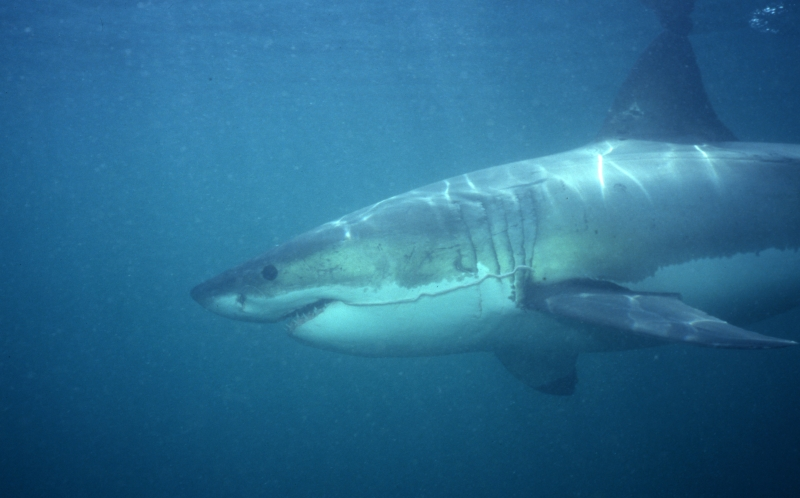Great white shark-South Africa