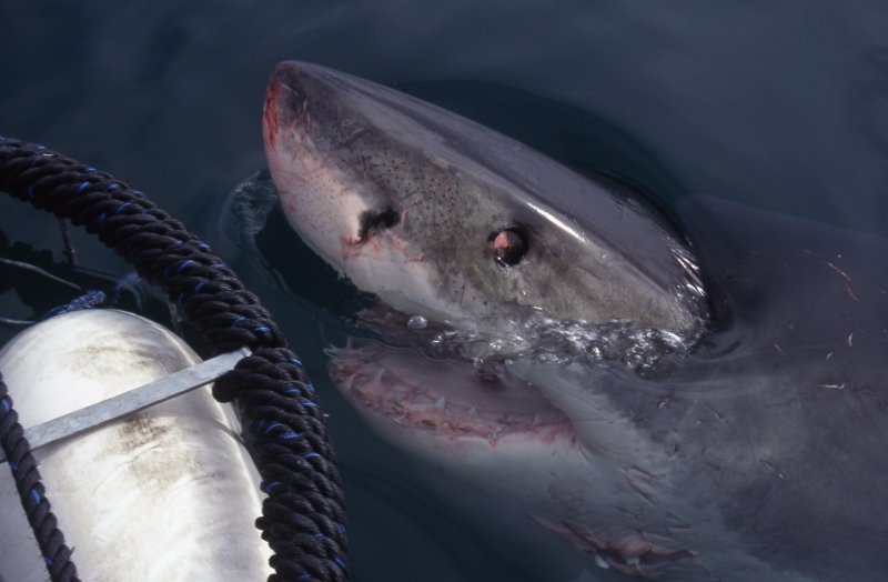 Great white shark above water by cage-South Africa