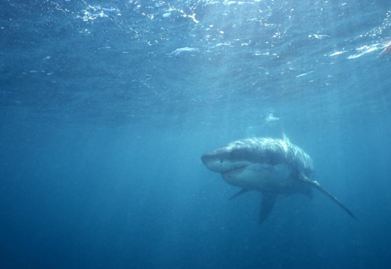 Great white shark approaching-Gansbaai