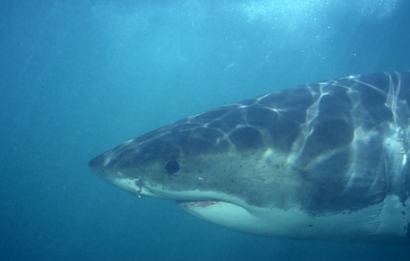 Great white shark close approach-South Africa
