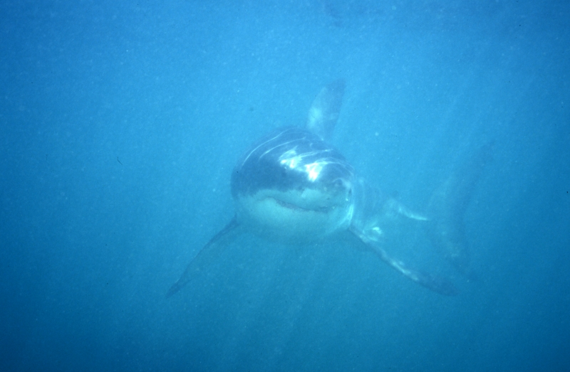 Great white shark out of the murk-South Africa