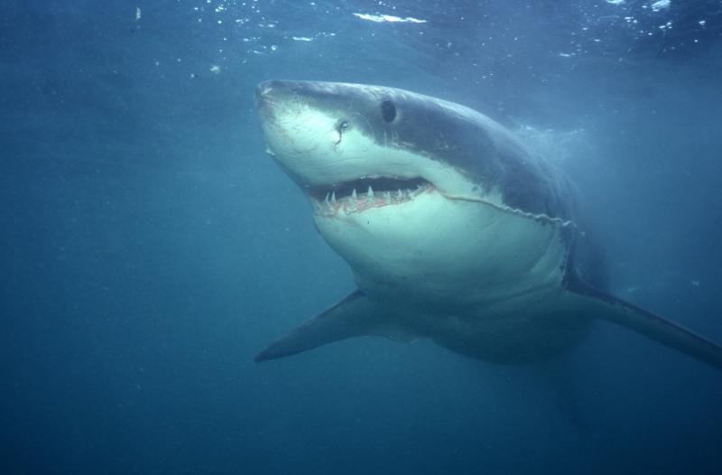Great white shark trailing entrail-Gansbaai, South Africa
