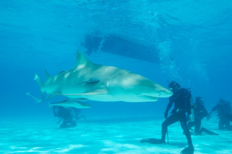 Lemon shark action 2 (dig)-Tiger Beach, Grand Bahama Island