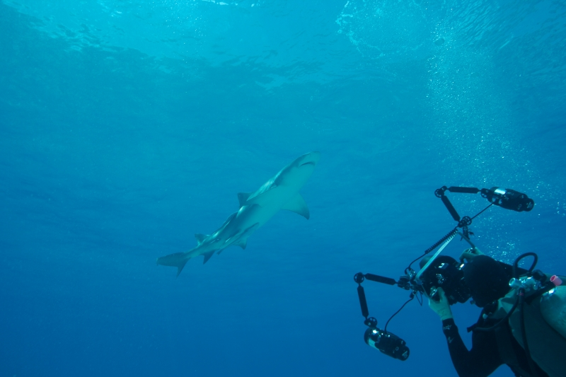 Lemon shark action 4 (dig)-Tiger Beach, Grand Bahama Island