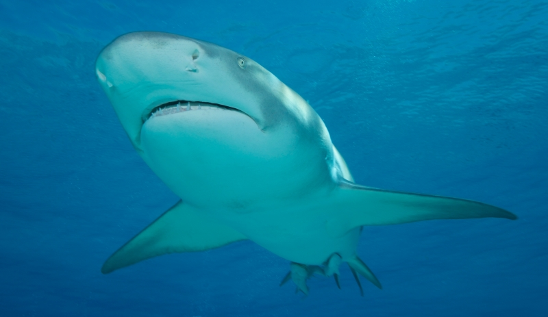 Lemon shark head-on 1 (dig)-Tiger Beach, Grand Bahama Island