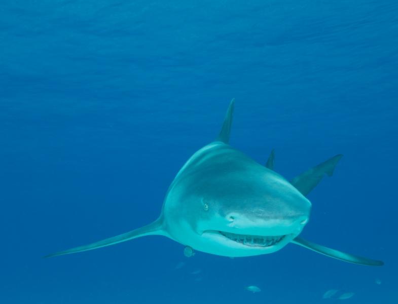 Lemon shark head-on 2 (dig)-Tiger Beach, Grand Bahama Island