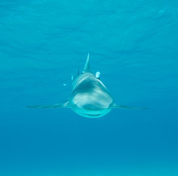 Lemon shark head-on 3 (dig)-Tiger Beach, Grand Bahama Island