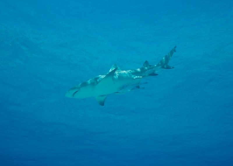 Lemon shark near surface 2 (dig)-Tiger Beach, Grand Bahama Island