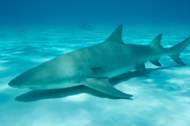 Lemon shark over sand 2 (dig)-Tiger Beach, Grand Bahama Island