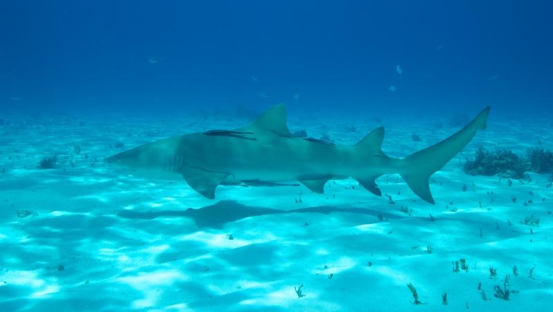 Lemon shark over sand 3 (dig)-Tiger Beach, Grand Bahama Island