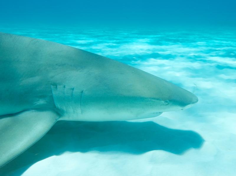 Lemon shark over sand 7 (dig)-Tiger Beach, Grand Bahama Island