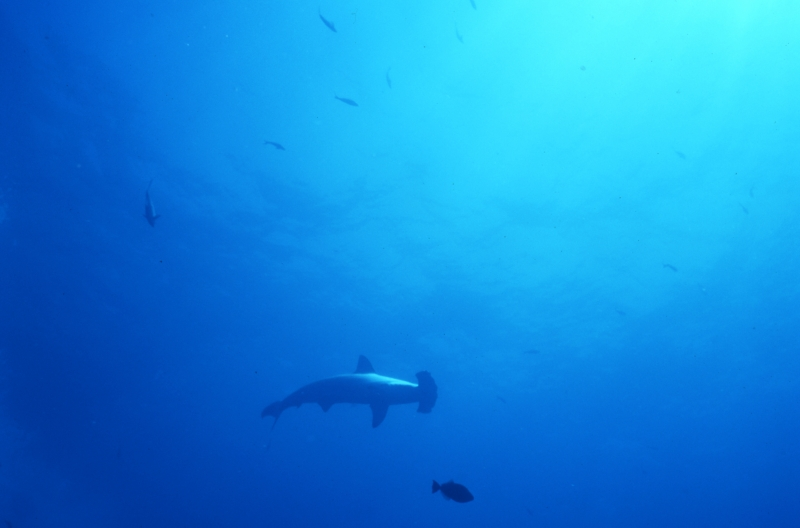 Scalloped hammerhead shark-Wolf Island, Galapagos