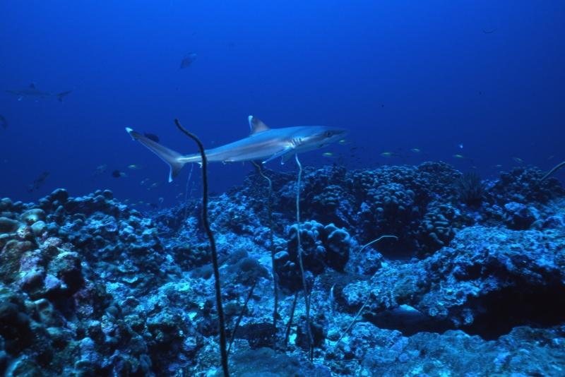 Silvertip shark-Burma Banks