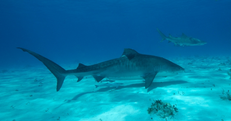 Tiger & Lemon sharks 2 (dig)-Tiger Beach, Grand Bahama Island