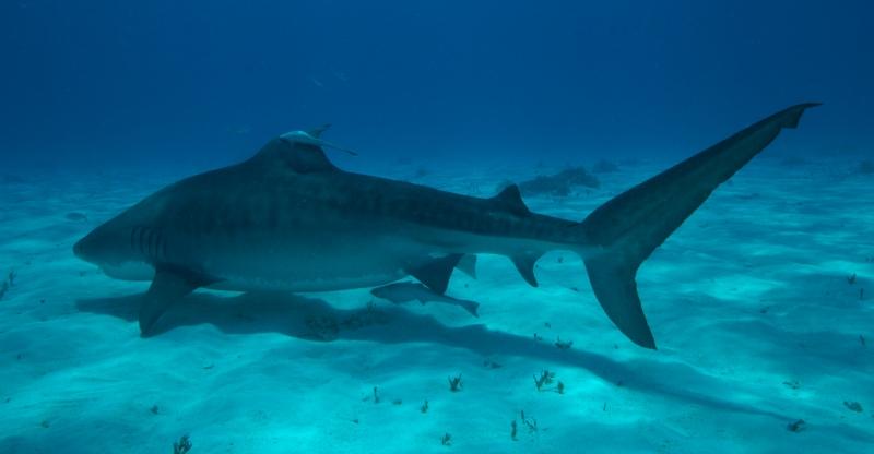 Tiger shark 12 (dig)-Tiger Beach, Grand Bahama Island