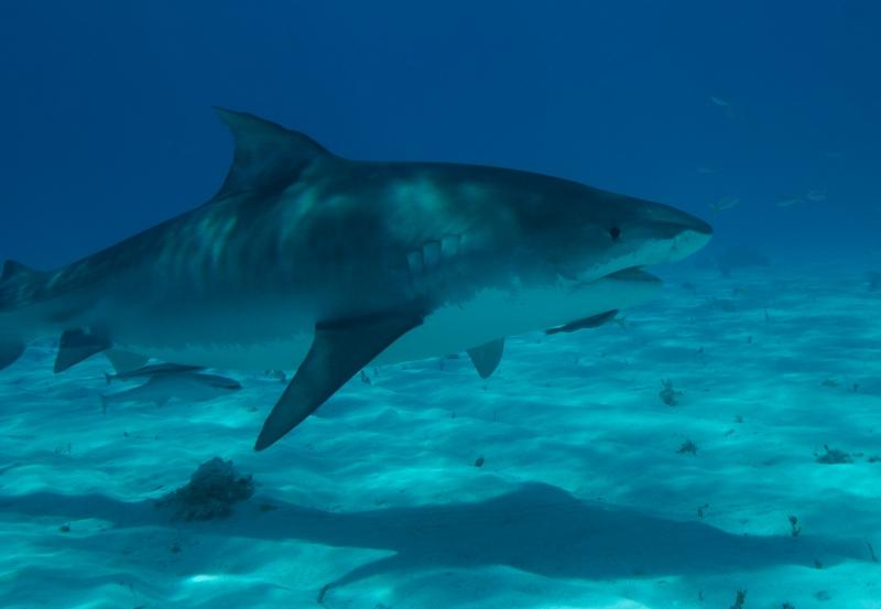 Tiger shark 2 (dig)-Tiger Beach, Grand Bahama Island