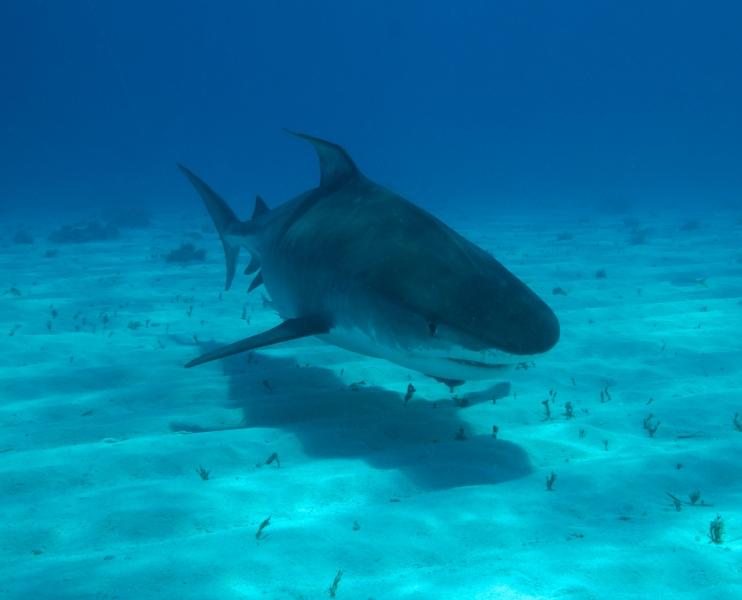 Tiger shark 3 (dig)-Tiger Beach, Grand Bahama Island