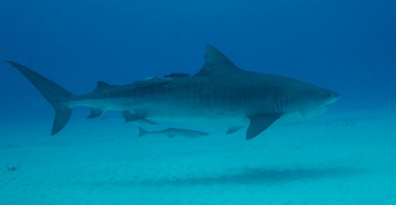 Tiger shark 4 (dig)-Tiger Beach, Grand Bahama Island (1)