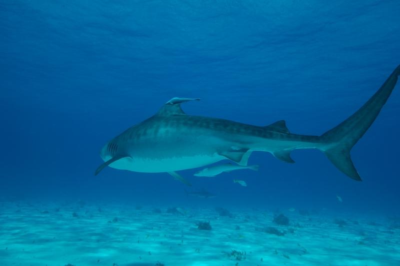 Tiger shark 6 (dig)-Tiger Beach, Grand Bahama Island