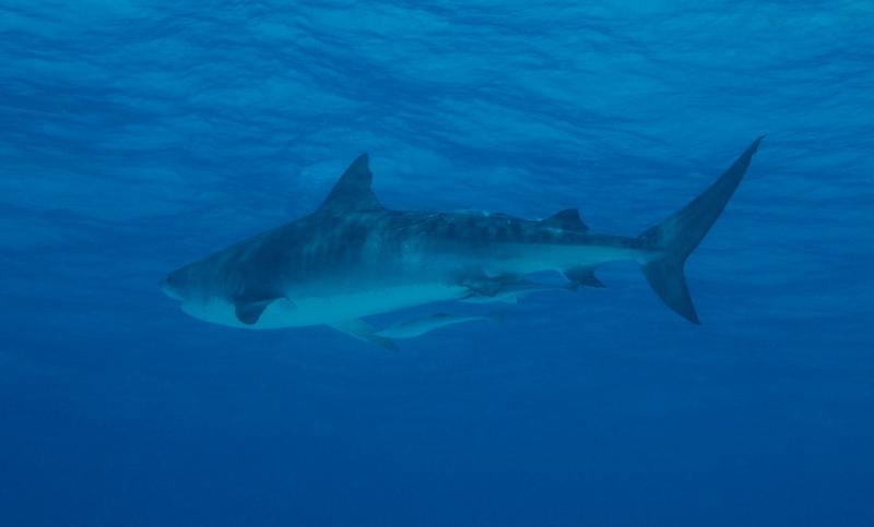 Tiger shark 7 (dig)-Tiger Beach, Grand Bahama Island