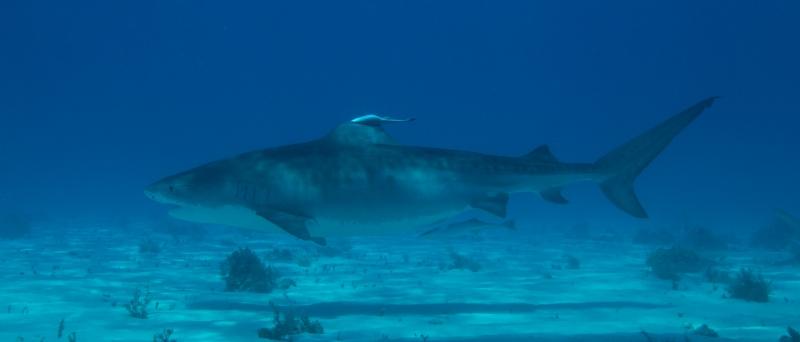 Tiger shark 8 (dig)-Tiger Beach, Grand Bahama Island