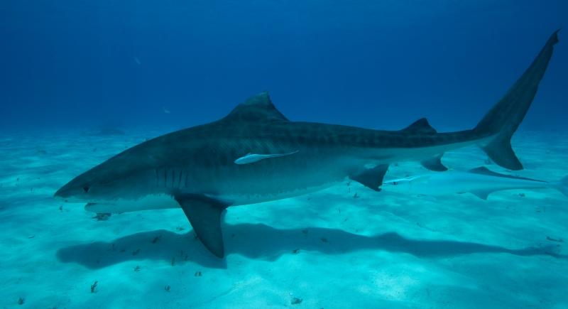 Tiger shark 9 (dig)-Tiger Beach, Grand Bahama Island