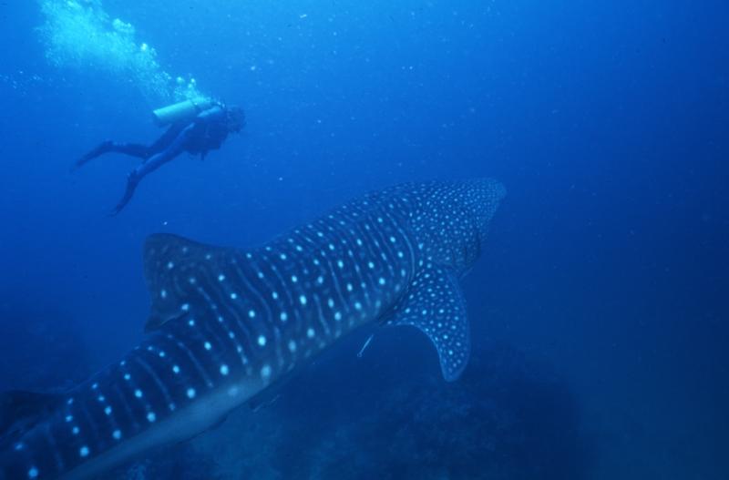 Whale shark & diver near bottom-Richelieu Rock, Thailand