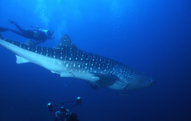Whale shark & divers-Richelieu Rock